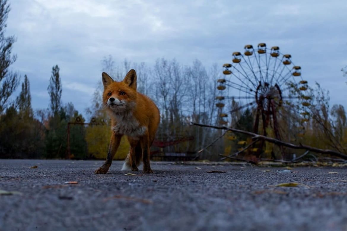 Fox in Chernobyl