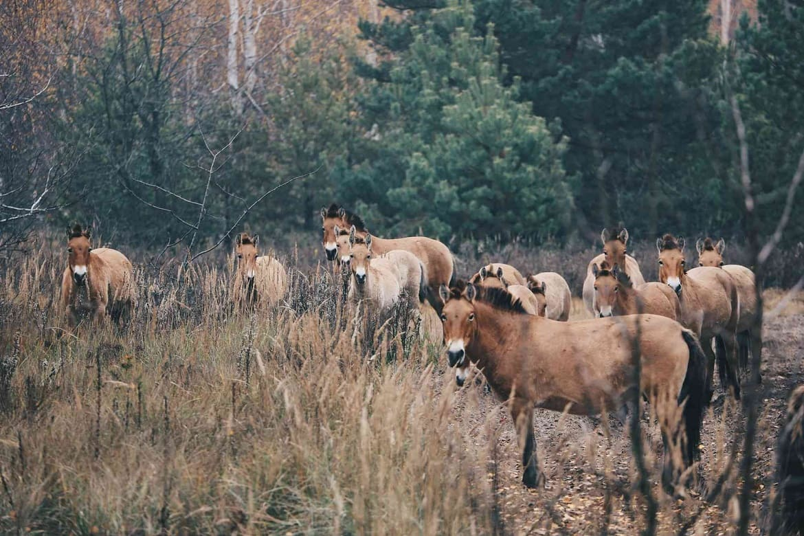 What is the difference between a Przewalski horse and an ordinary breed?