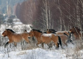 Лошади Пржевальского в Чернобыле: интересные факты