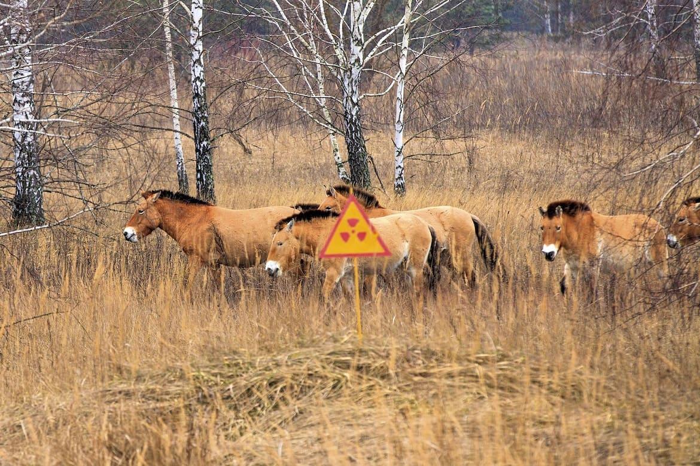 Przewalski's horses in Chernobyl